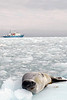 14d-Leopard Seal lounging on ice