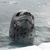 14c-Adult Leapard Seal, approximately 10 feet long