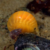 ? ID needed - amphipods?