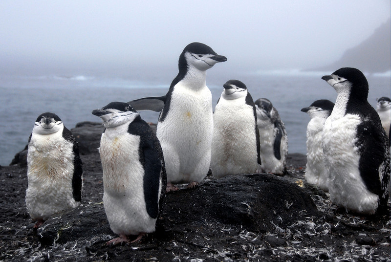 10-Chinstrap Penguins
