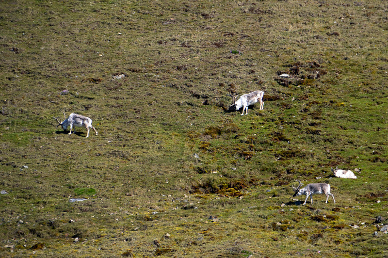 Caribou feeding on a distant hillside
