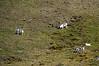 Caribou feeding on a distant hillside