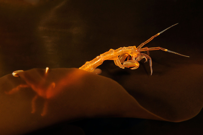 Caprellid on Kelp aka Skeleton Shrimp