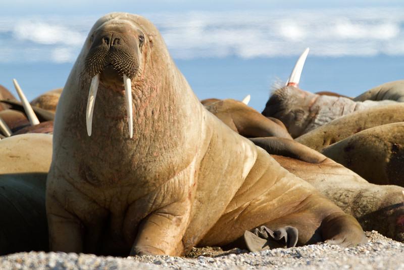 Walrus<br /> Photo by Eric Tan.