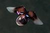 Limacina helicina aka Sea Butterfly