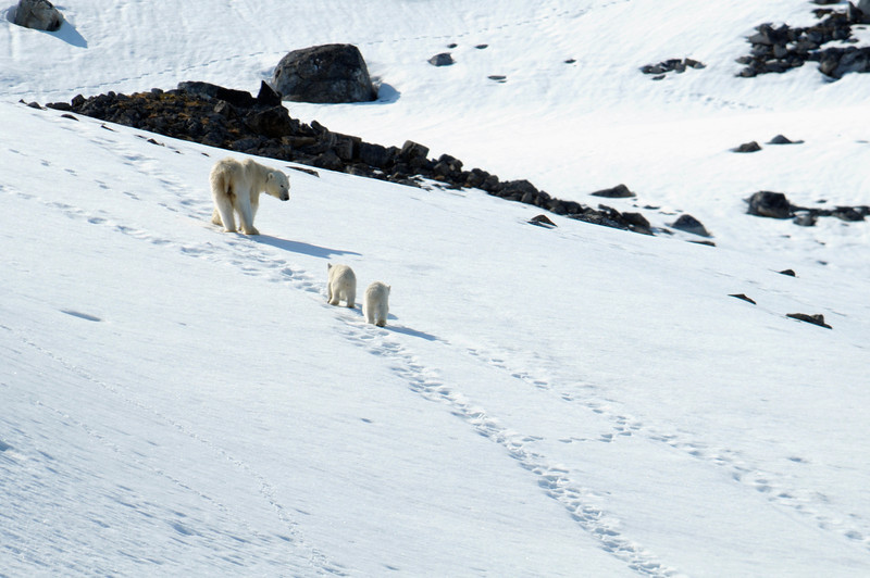 Mother Polar Bear checking on her cubs