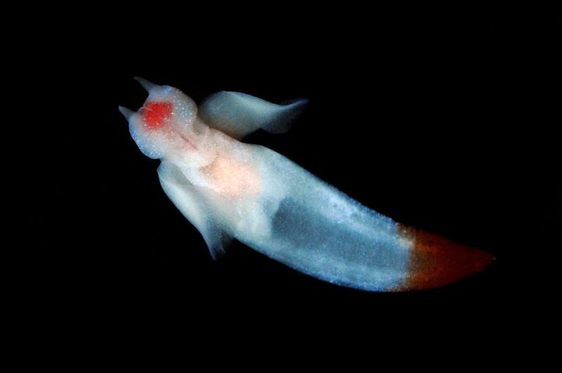 Clione limacina, aka Sea Angel