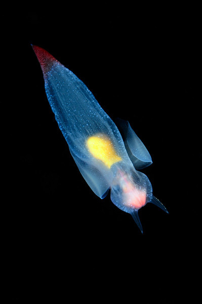 Clione limacina, aka Sea Angel