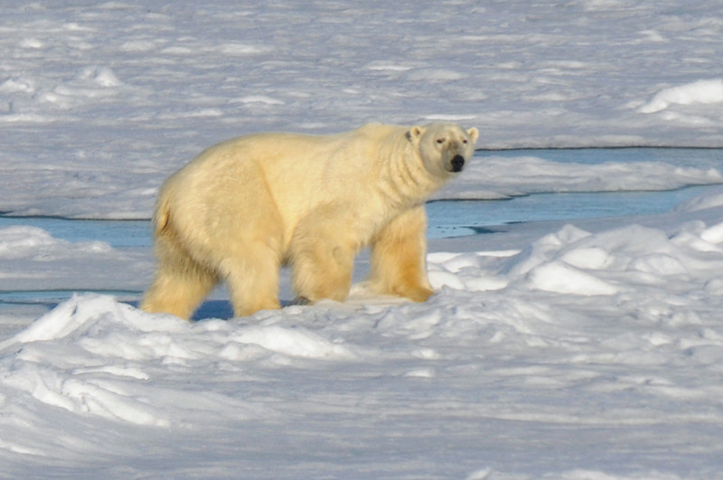 Large, lone male Polar Bear, hunting for seals on ice floes