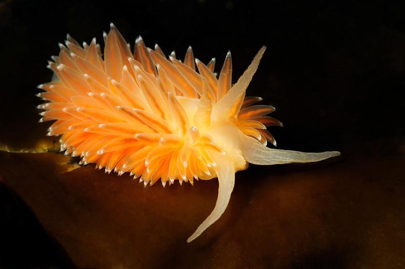 Coryphella polaris (?)