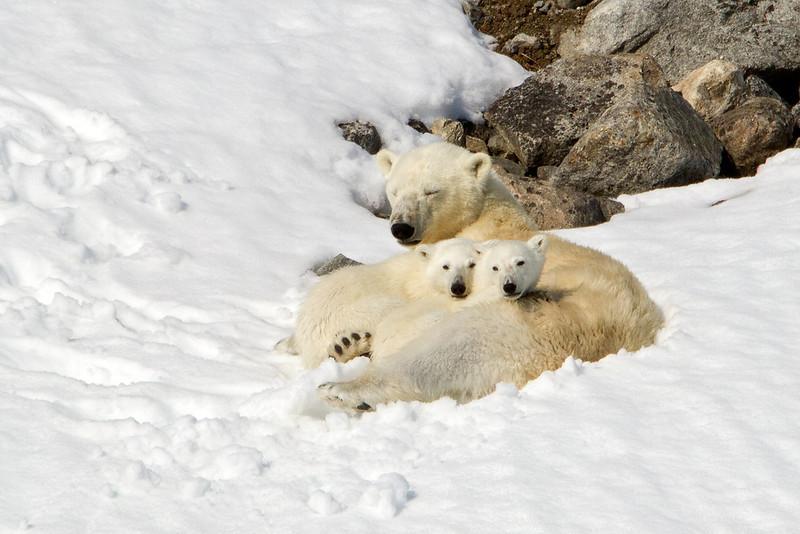 Resting mother Polar Bear, nursing her cubs. <br /> Photo by Eric Tan