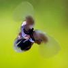 Limacina helicina aka Sea Butterfly, prey of the Sea Angel.<br /> Approx. 3/4 inch.  Algae background.  10' fsw.
