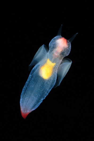 "Clione limacina, aka Sea Angel, approximately 1.5 inch.<br /> These molluscs are small pelagic gastropods (pteropods), of the suborder Gymnosomata.  The foot has evolved into ""wings"" that are used for locomotion. It always stays adrift in the water column and never touches the bottom.  Clione feed mainly on Limacina helicina aka Sea Butterfly and other planktonic organisms. The buccal apparatus is comprised of three pairs of buccal tentacles that grasp the shell of the Limacina. When the prey is in a proper position, with the shell opening facing the radula of Clione, it deploys the chitinous hooks and grasps the prey, extracting the entire body out of the shell and then swallows it whole."