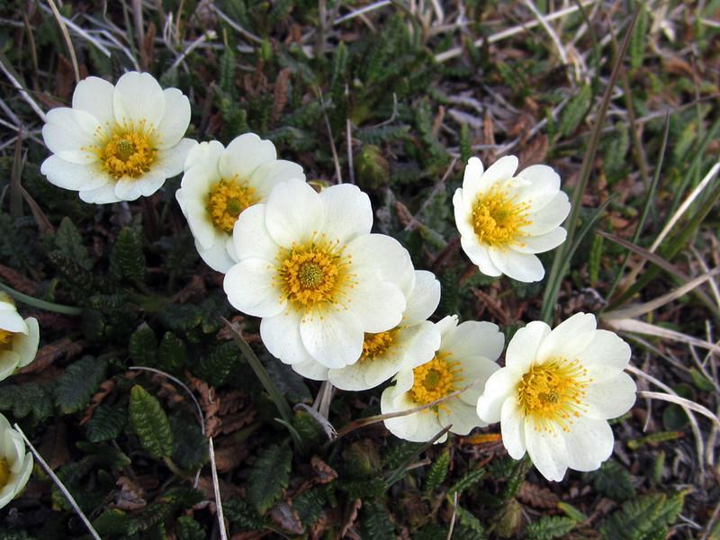 Longyearbyen flowers