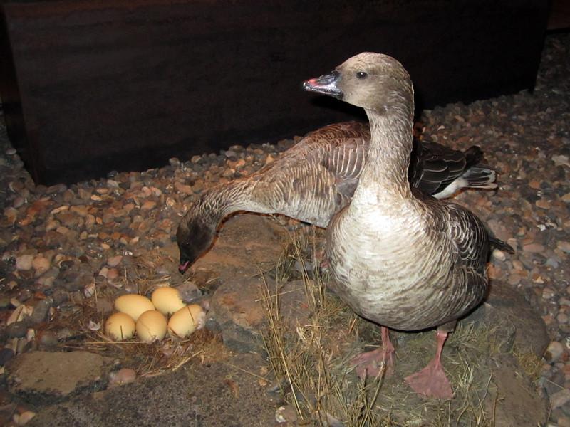 Geese<br /> Svalbard Museum