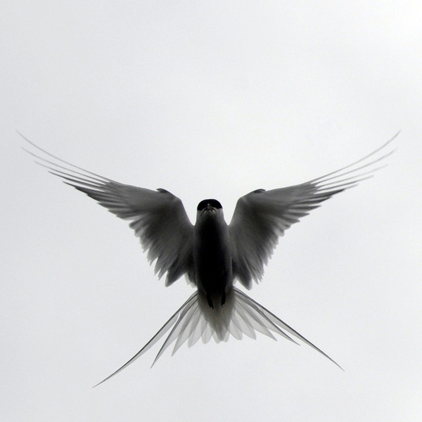 Arctic terns produce strange sounds with tail feathers to scare off enemies