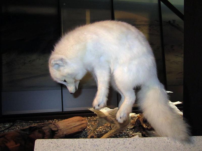 Arctic fox, hunting<br /> Svalbard Museum