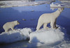 Polar bear cub following its mother over ice floes (photo on building)