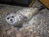 Seal<br /> Svalbard Museum