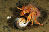 Hermit Crabs fighting: Larger one is Pagurus bernhardus.  Not certain about the smaller one.<br /> Drøbak, Norway<br /> ID thanks to professor Mary Wicksten
