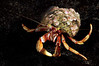 Hermit Crab: Pagurus bernhardus, the common northern European hermit crab.<br /> Drøbak, Norway<br /> ID thanks to professor Mary Wicksten