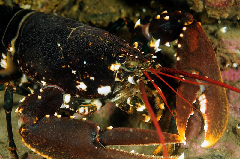 Lobster: Homarus gammarus, a close relative of Homarus americanus of the U.S. East Coast<br /> Drøbak, Norway<br /> ID thanks to professor Mary Wicksten