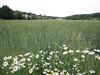 Wheat field, Drøbak, Norway
