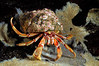 Hermit Crab: Pagurus bernhardus.<br /> Drøbak, Norway<br /> ID thanks to professor Mary Wicksten