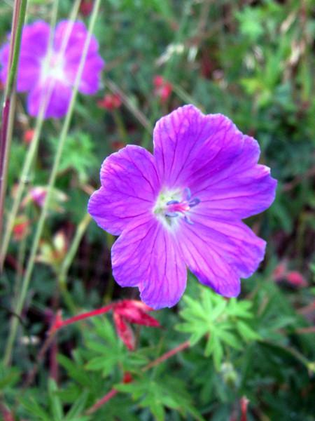 Drøbak flower