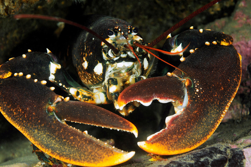 Lobster: Homarus gammarus, a close relative of Homarus americanus of the U.S. East Coast<br /> Drøbak, Norway<br /> ID thanks to professor Mary Wicksten