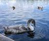 Juvenile Swan, Linlithgow Loch, Scotland