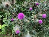 Thistles along Linlithgow Loch