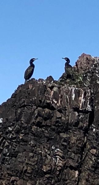 Cormorants on Black Carr Rock<br /> St. Abbs, Scotland