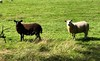 Sheep grazing by Linlithgow Loch, Scotland