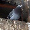 Video: Mating call of the pigeon at Linlithgow Palace.