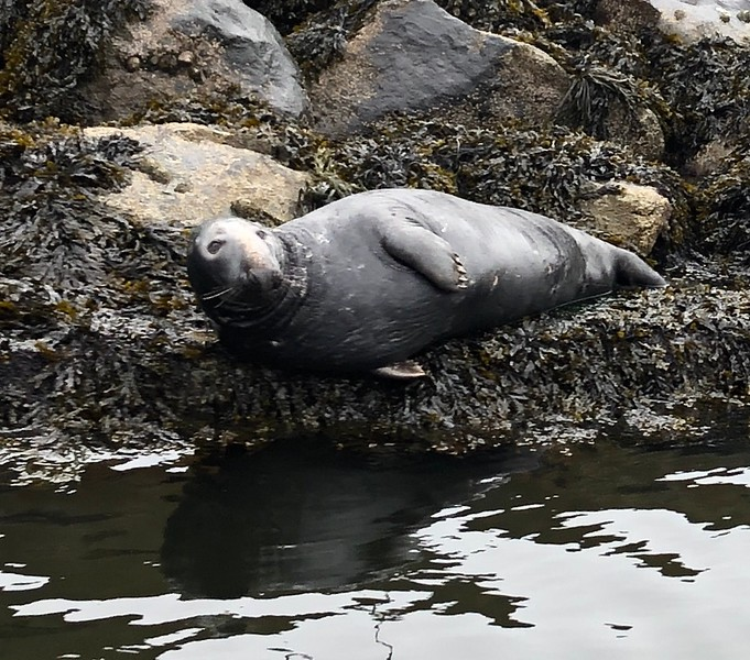Seal resting in Eyemouth, Harbor, Scotland