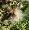 Thistle seeding