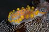 Limacia clavigera