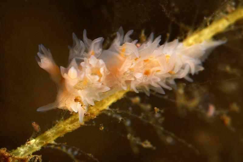 Lomonotus genei<br /> ID thanks to Jim Anderson