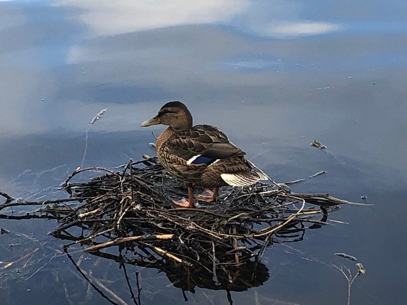 Duck nest in  Linlithgow Loch