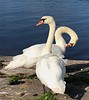 Technically, the Crown owns all unmarked mute swans in open water in the UK.