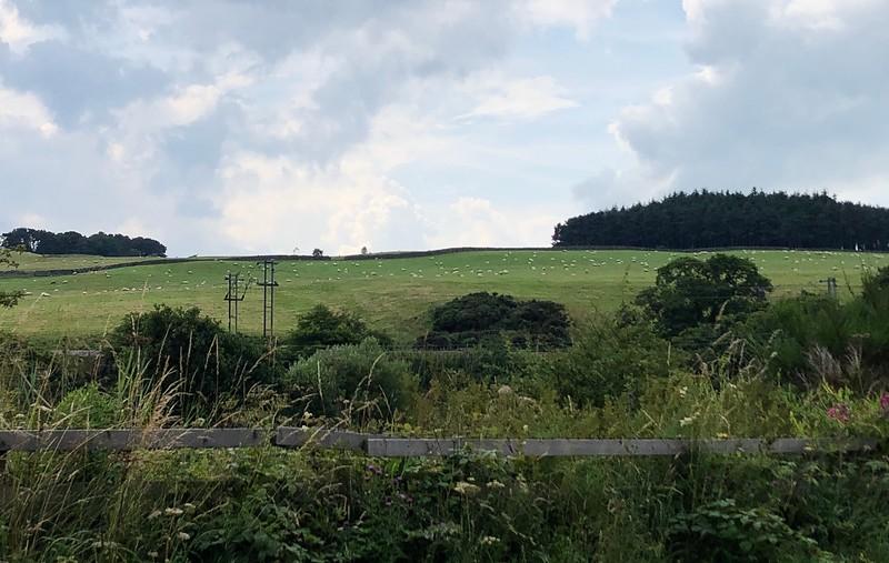 Grazing sheep<br /> Scotland