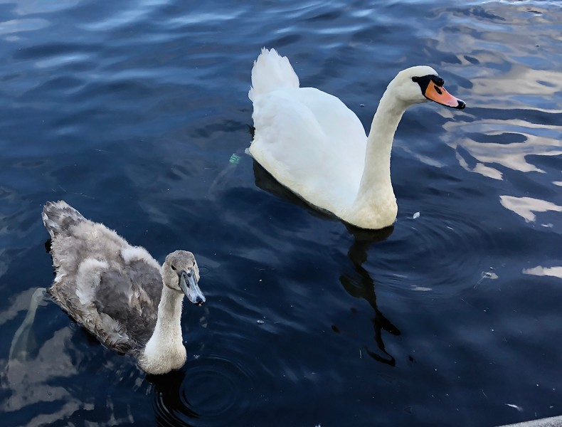 Juvenile and adult swans, Linlithgow Loch, Scotland