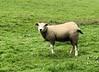 Grazing sheep<br /> Linlithgow, Scotland