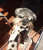 Earny, Jane's doggie, plays tug of war