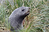 Juvenile fur seal in tussock grass.<br /> Salisbury Plain, Bay of Isles, South Georgia Island.