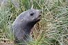 Juvenile fur seal in tussock grass.<br /> Salisbury Plain, Bay of Isles, South Georgia Island.