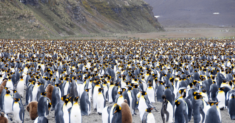 Massive King Penguin colony.<br /> Salisbury Plain, Bay of Isles, South Georgia Island