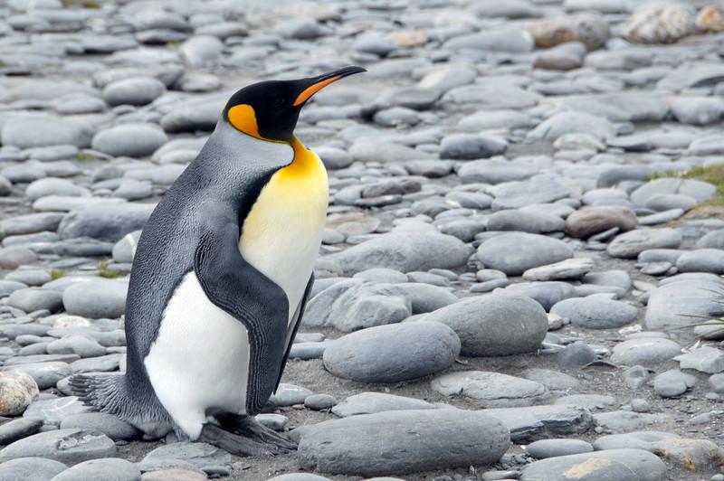 King Penguin, using its strong tail to rest, like a tripod, on rocks.<br /> Salisbury Plain, South Georgia Island