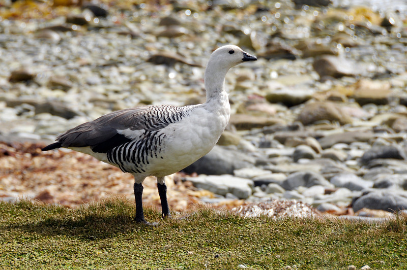 Upland Goose, Chloephaga picta leucoptera<br /> East Falkland Island.